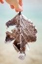 Free A Salt-glazed Leaf Stock Image - 27990221