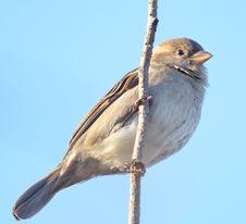 Free Sparrow Royalty Free Stock Image - 27990256