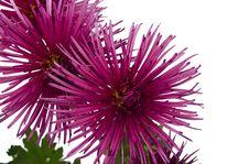 Free Chrysanthemum Royalty Free Stock Photos - 27994148