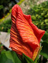Free Flower Of Hibiscus Stock Photography - 281082