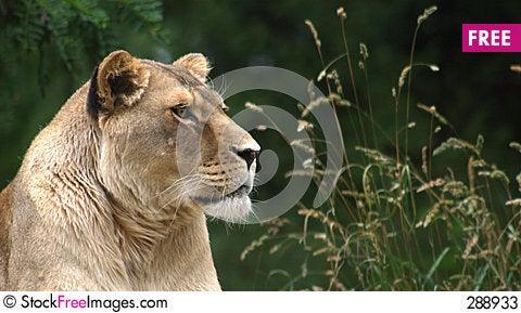 Free Lioness Stock Photos - 288933