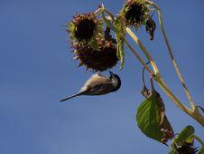 Free Chickadee Stock Image - 281071