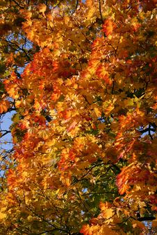 Free Maple Tree In The Autumn Royalty Free Stock Image - 281656