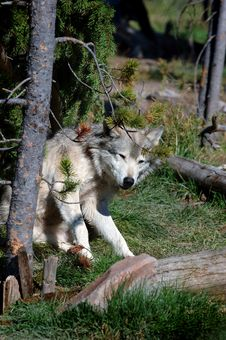 Free Timber Wolf Scratching Stock Images - 282734