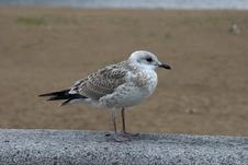 Free White Sea Gull Stock Photography - 283072