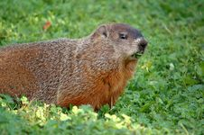 Free Marmot 3 Stock Photography - 284322