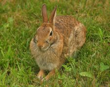 Free Brown Bunny Stock Photos - 284963