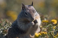 Free Squirrel Foraging Royalty Free Stock Photos - 286078