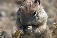 Free Squirrel Foraging, Close-up Royalty Free Stock Images - 286079