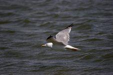 Free Flying Gull Royalty Free Stock Photo - 286495