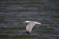 Free Flying Gull Royalty Free Stock Photography - 286497