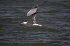 Free Flying Gull Royalty Free Stock Photos - 286498
