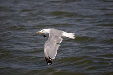 Free Flying Gull Royalty Free Stock Images - 286499
