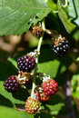 Free Wild Blackberries Stock Photography - 2802242