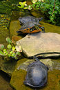Free Three Turtles Royalty Free Stock Image - 2803936