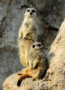 Free Suricates - Meerkats Royalty Free Stock Photo - 2806815
