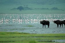 Buffalos And Flamingos Royalty Free Stock Photos