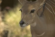 Free Baby Buck , Dear Royalty Free Stock Photos - 2800368