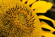 Free Sunflower-close-up Stock Photos - 2801973