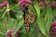 Free Monarch Butterfly Royalty Free Stock Photography - 2802097