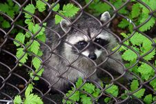 Free Raccoon Behind A Fence 1 Stock Photography - 2802112