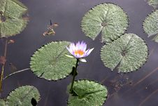 Free Flower On Lily Pond Royalty Free Stock Images - 2803679