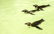 Free Swimming Penguins Royalty Free Stock Image - 2805946