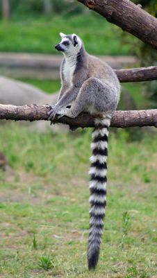 Free Ring-tailed Lemur Royalty Free Stock Photos - 2806318