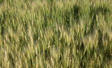 Free Wheat Field Stock Photography - 2806692