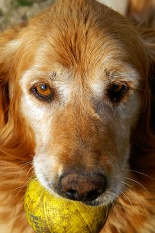 Golden Retriever With Ball Stock Photography