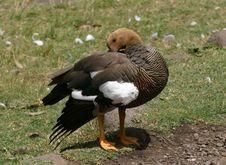 Free Upland Goose Stock Photo - 2806810