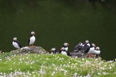 Free Colony Of Cute Puffins Stock Photography - 2806882