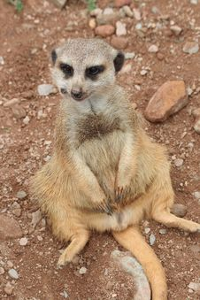 Free Suricata Suricatta Royalty Free Stock Photo - 2807635