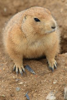 Free Prairie Dog - Cynomys Ludovici Stock Images - 2808034