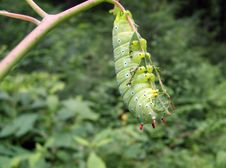 Promethea Moth Caterpillar Stock Photography