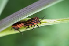 Free Red Bugs. Royalty Free Stock Photography - 2808867