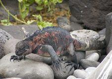 Free Iguana Walking Royalty Free Stock Image - 2808946