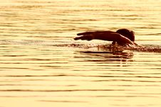 Free Golden Swimmer Royalty Free Stock Photo - 2809255