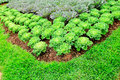 Free Cabbage Plants Royalty Free Stock Images - 28001889