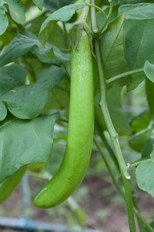 Free Thai Long Green Eggplant Stock Image - 28001351