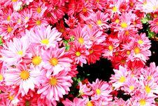 Free Gerbera Flower Stock Photo - 28001830