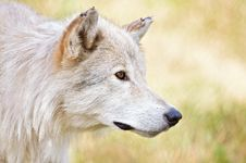 Free White Wolf Stock Images - 28002804