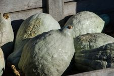 Lumpy Gourds Royalty Free Stock Photo