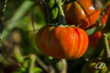 Free Baby Orange Gourds On The Vine Royalty Free Stock Image - 28003566