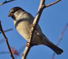 Free Sparrow Royalty Free Stock Photo - 28011735