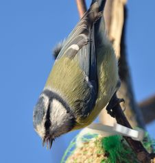 BlueTit. Royalty Free Stock Images