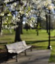 Free Flowering Tree And Park Bench Royalty Free Stock Images - 28020689