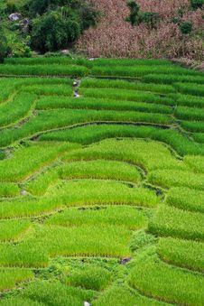 Free Terraced Rice Fields In Northern Thailand Royalty Free Stock Photo - 28021895