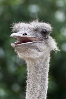 Free The Head Of An Ostrich Royalty Free Stock Image - 28022976