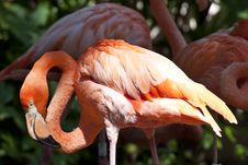 Free A Red Flamingo Stock Image - 28022981